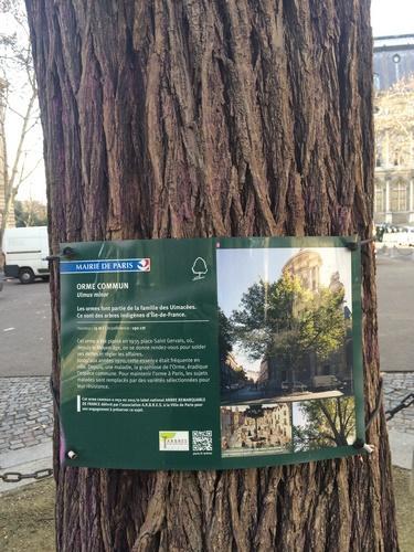 Orme de la Place Saint Gervais